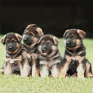 имена собак овчарок