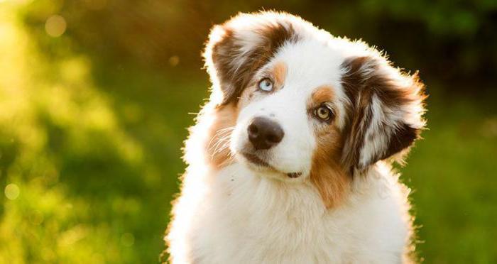 гискан 5 сыворотка для собак инструкция цена