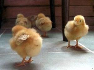 кормление цыплят в домашних условиях