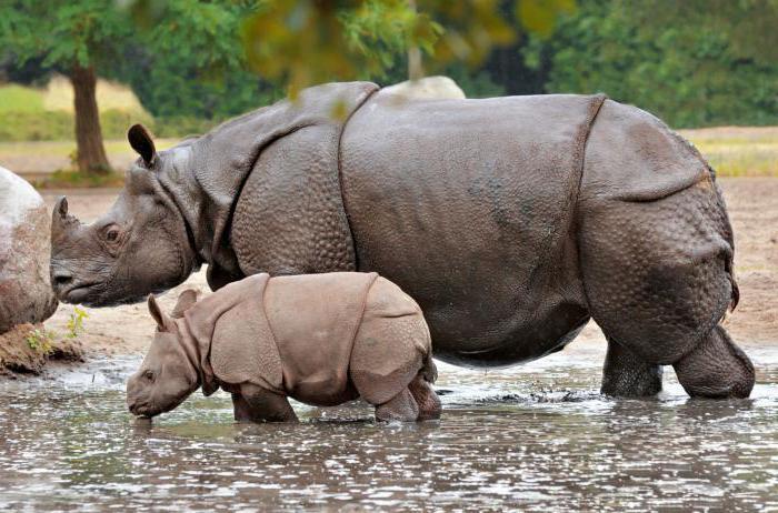 индийский носорог где обитает