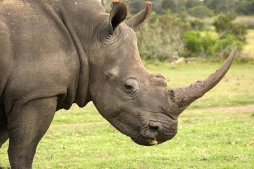 индийский носорог красная книга