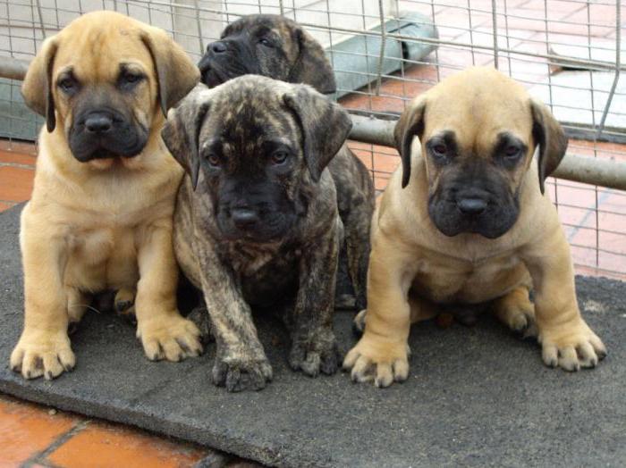 собака кадебо характеристика породы отзывы