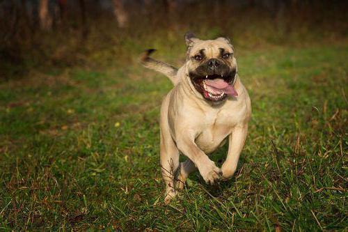 идеальная собака кадебо
