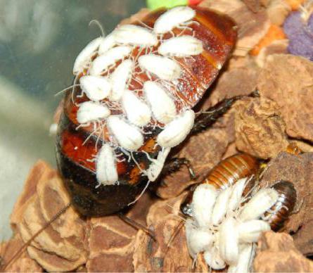маленькие белые тараканы в ванной