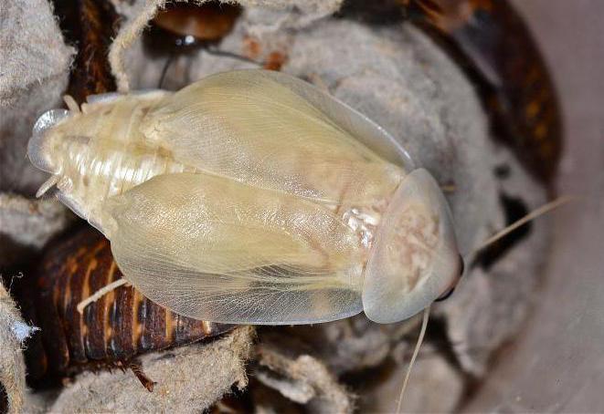 маленькие белые тараканы