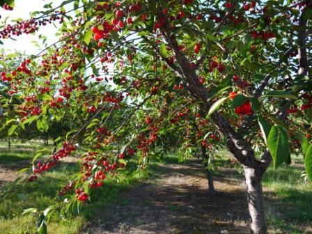 вишня дерево