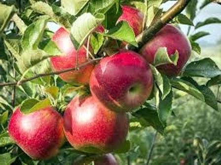 саженцы плодовых деревьев питомник нижний новгород айва