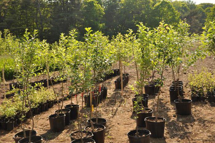 саженцы плодовых деревьев питомник нижний новгород гнилицы