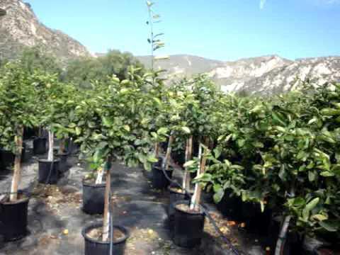 саженцы плодовых деревьев питомник нижний новгород новинки