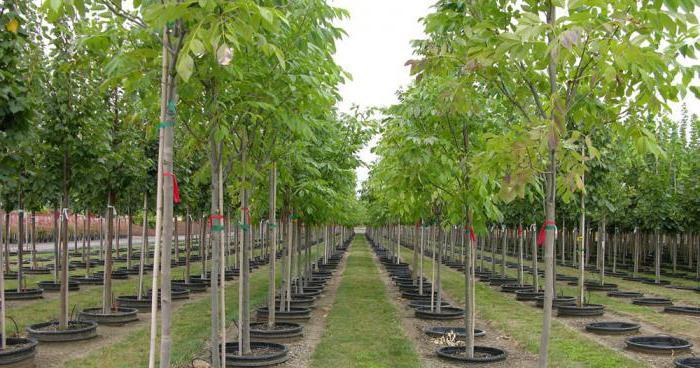 саженцы плодовых деревьев питомник нижний новгород