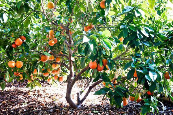 саженцы плодовых деревьев питомник нижний новгород аллея