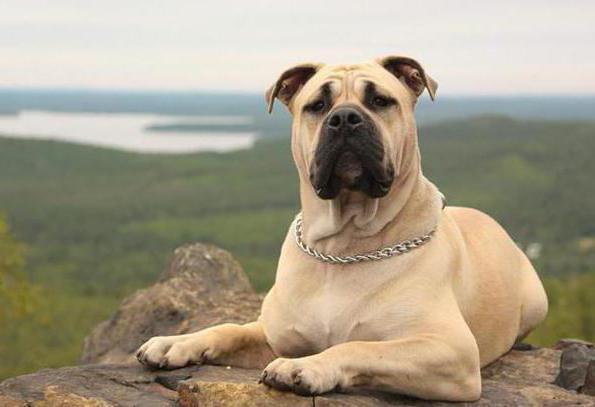 собака породы кадебо цена