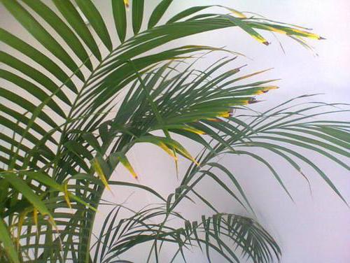 Почему у пальмы желтеют листья и опадают
