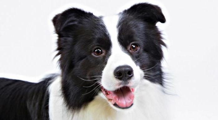 рейтинг собак по интеллекту