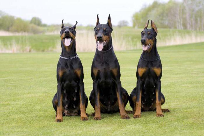 собака колли характеристика