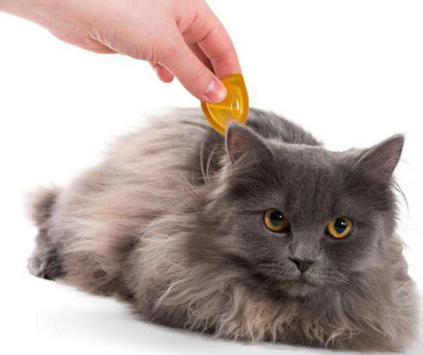 дерматит у кошки симптомы