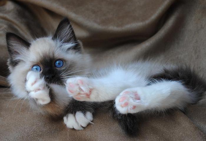 Сколько стоит котенок породы рэгдолл