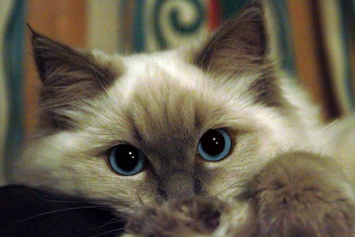 Рэгдолл котята цена