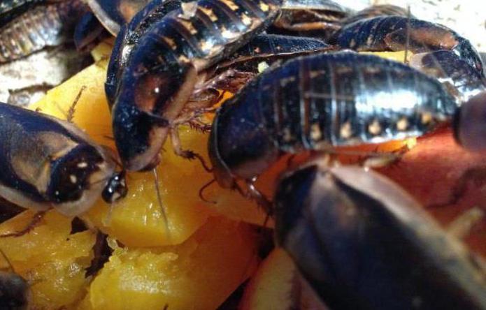 Кусаются ли тараканы домашние?