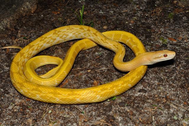 аренда зеленая змея сверху желтые пятна фото и название Вам нужно знать