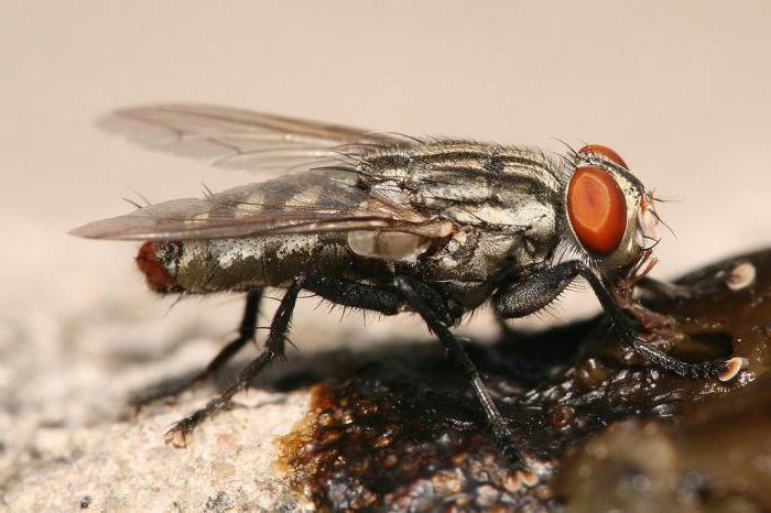 Кусачие мухи – кто они? Почему мухи кусают людей и животных?