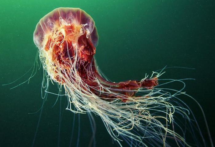 самая ядовитая медуза