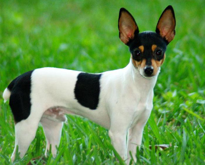 щенок карликовый терьер