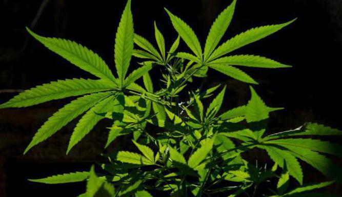 конопля и марихуана