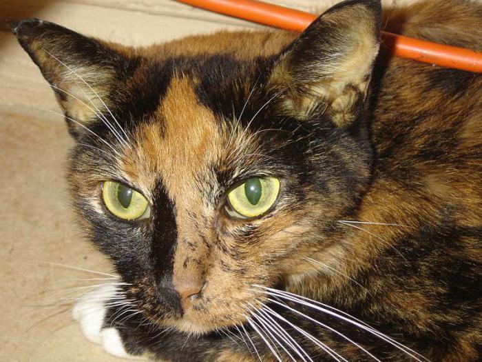 гепатит у кошки передается человеку
