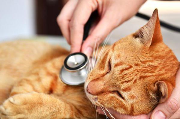гепатит у кошек симптомы