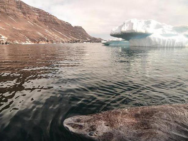 гренландская полярная акула долгожитель