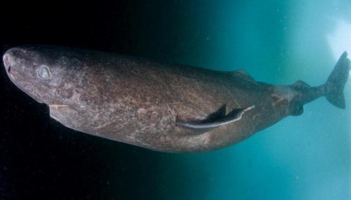 чем питается гренландская полярная акула