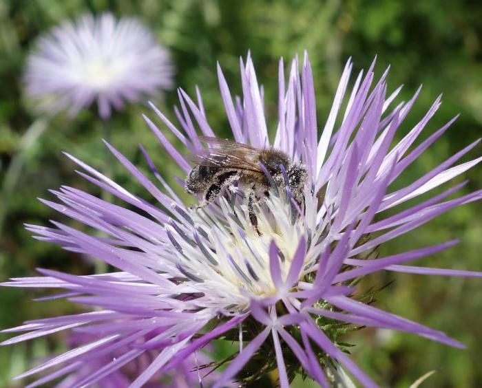 Расторопша, мед: польза и вред