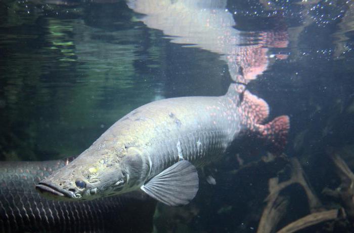 рыба амазонки арапайма