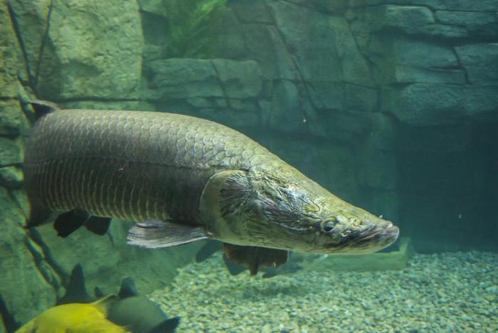 арапайма гигантская рыба