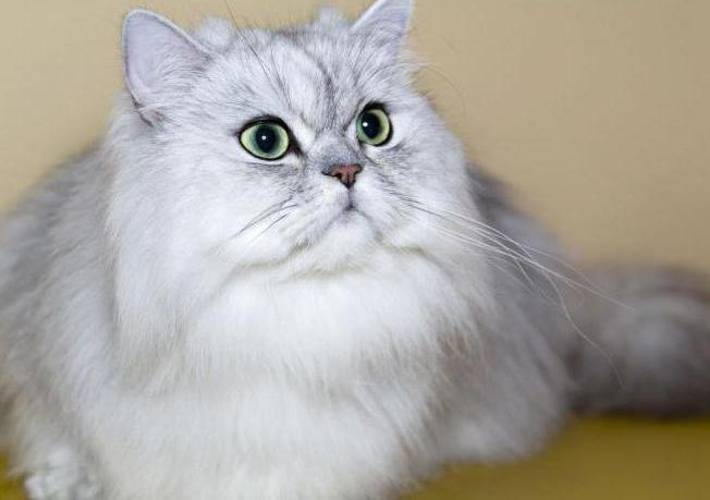 персидская кошка характер