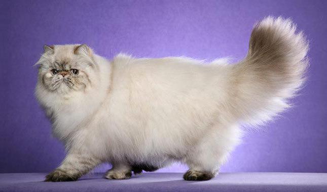 уход за персидской кошкой