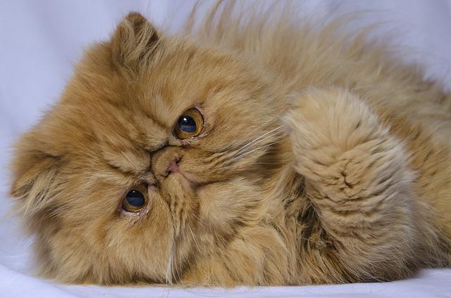 персидская порода кошек характер