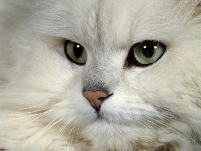 кошки персидская шиншилла характер