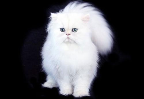 персидская кошка характер и повадки