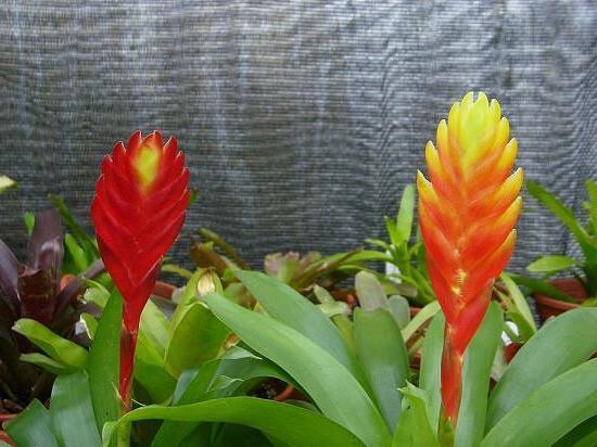 Вриезия уход и выращивание в домашних условиях 72