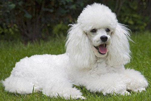 самая лучшая порода собак для охраны дома