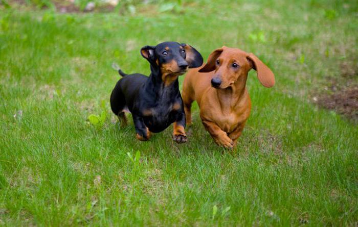 самые лучшие породы собак для дома