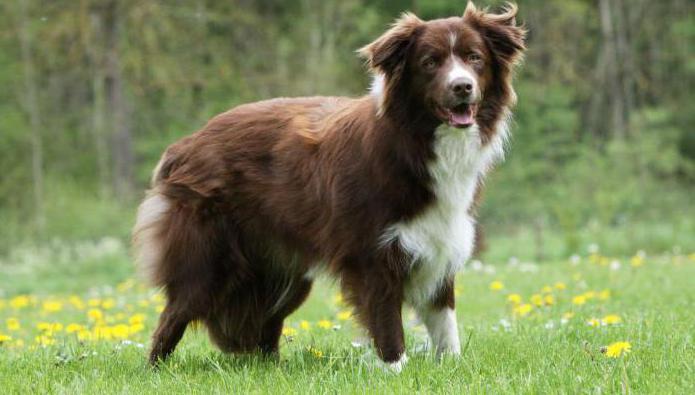самая лучшая порода собак в мире