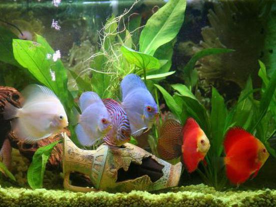 дискусы содержание с другими рыбами
