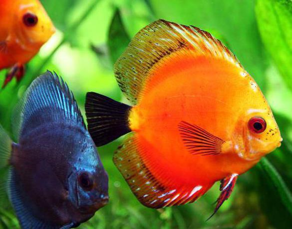 дискус рыба кормление