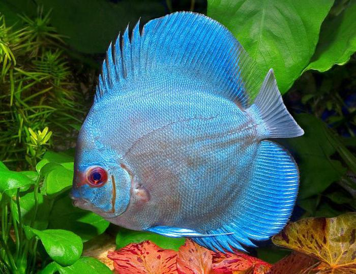 дискусы аквариумные рыбы