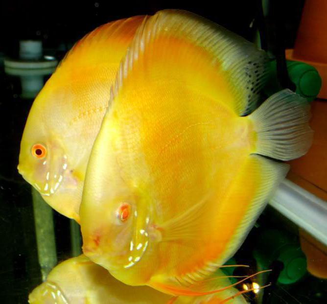 разновидности дискусов рыб