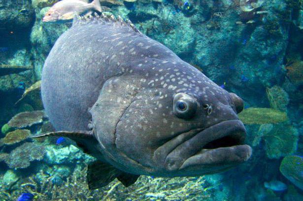 лаврак рыба одиночка