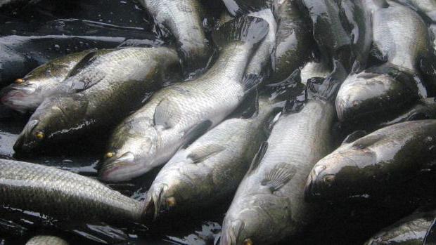 лаврак рыба